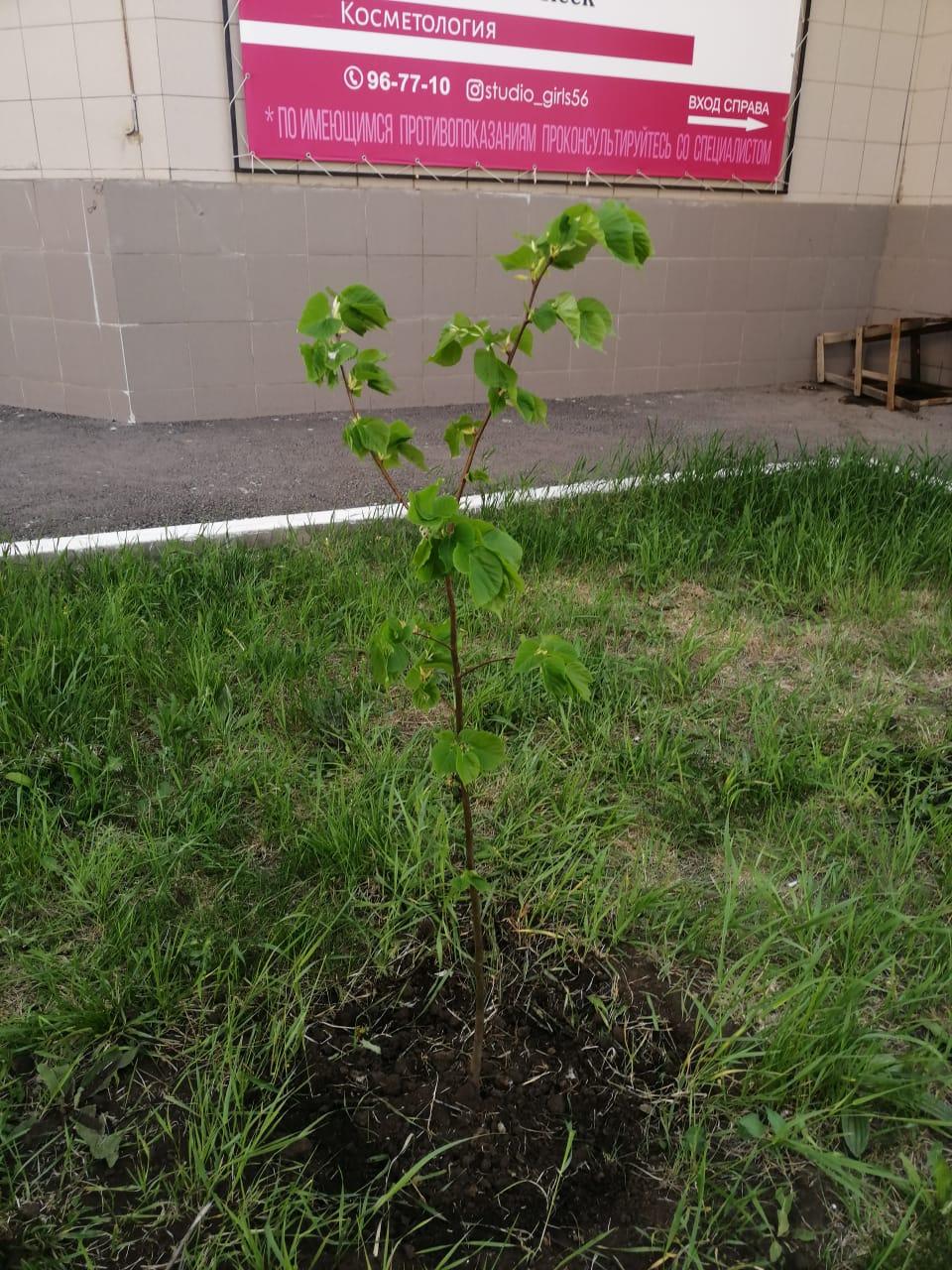 Продолжается посадка деревьев Салмышская 43А