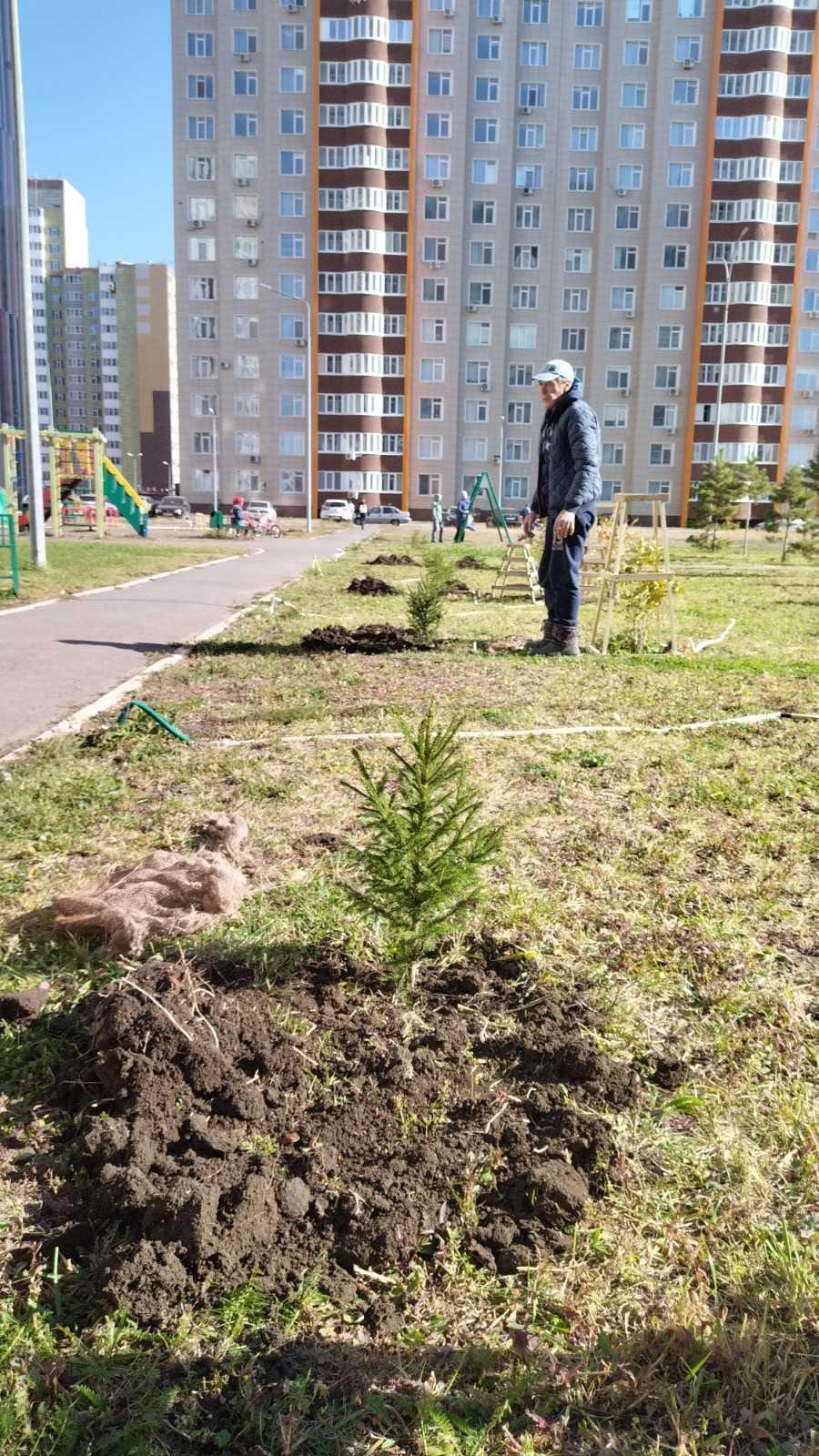 На придомовой территории МКД 2-11 и 2-8 ул. Уральской высажены ели